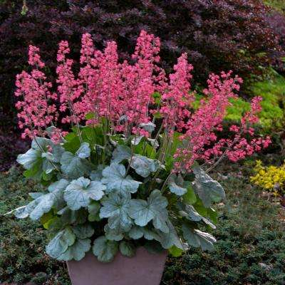 0.65 Gal. Dolce Spearmint Coral Bells (Heuchera) Live Plant, Pink Flowers and Silvery Green Foliage