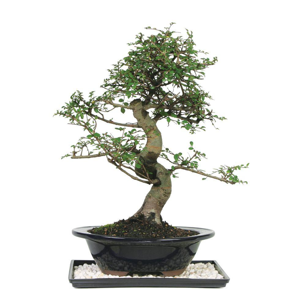 Brussel S Bonsai Chinese Elm Bonsai Ct 9006ce The Home Depot