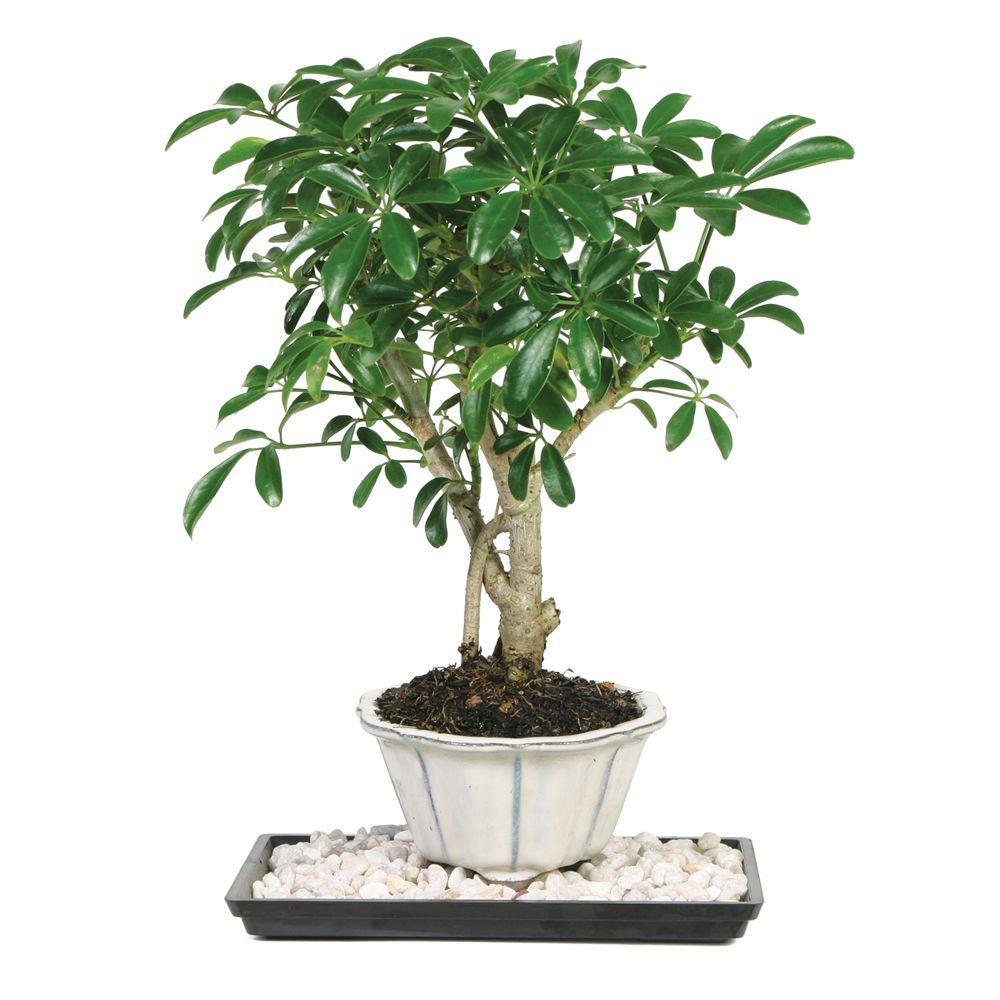 Brussel S Bonsai Dwarf Hawaiian Umbrella Tree Indoor Dt 6019arb The Home Depot
