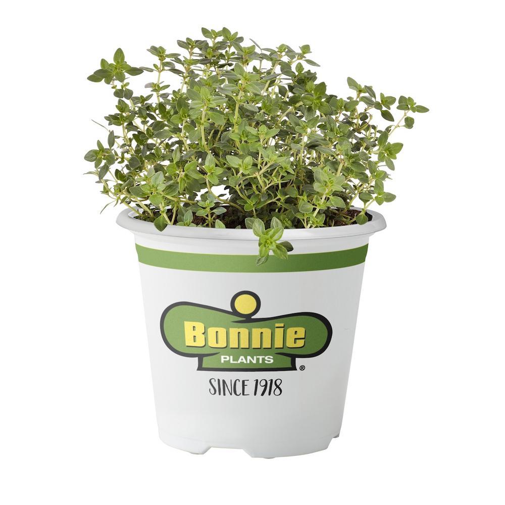 Bonnie Plants 4.5 in. Lemon Thyme