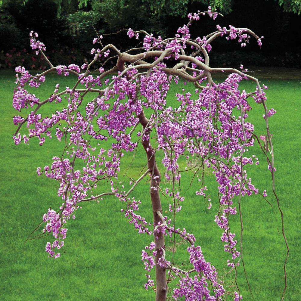 Spring Hill Nurseries Lavender Twist Weeping Redbud Cercis Live