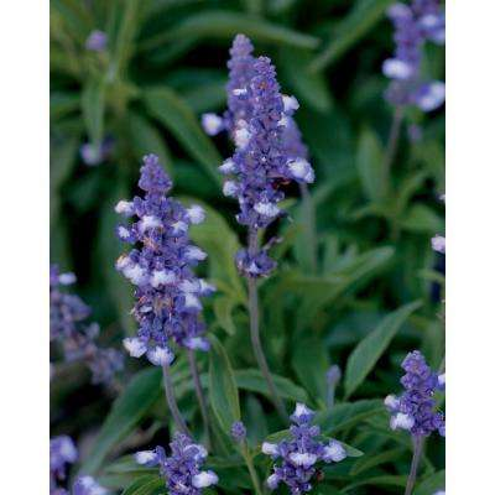 Blue Frost Blue Sage (Salvia) Live Plant, Blue-Purple Flowers, 4.25 in. Grande