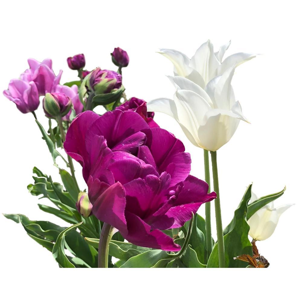 Purple Tulip Rain Mix 25-Bulbs