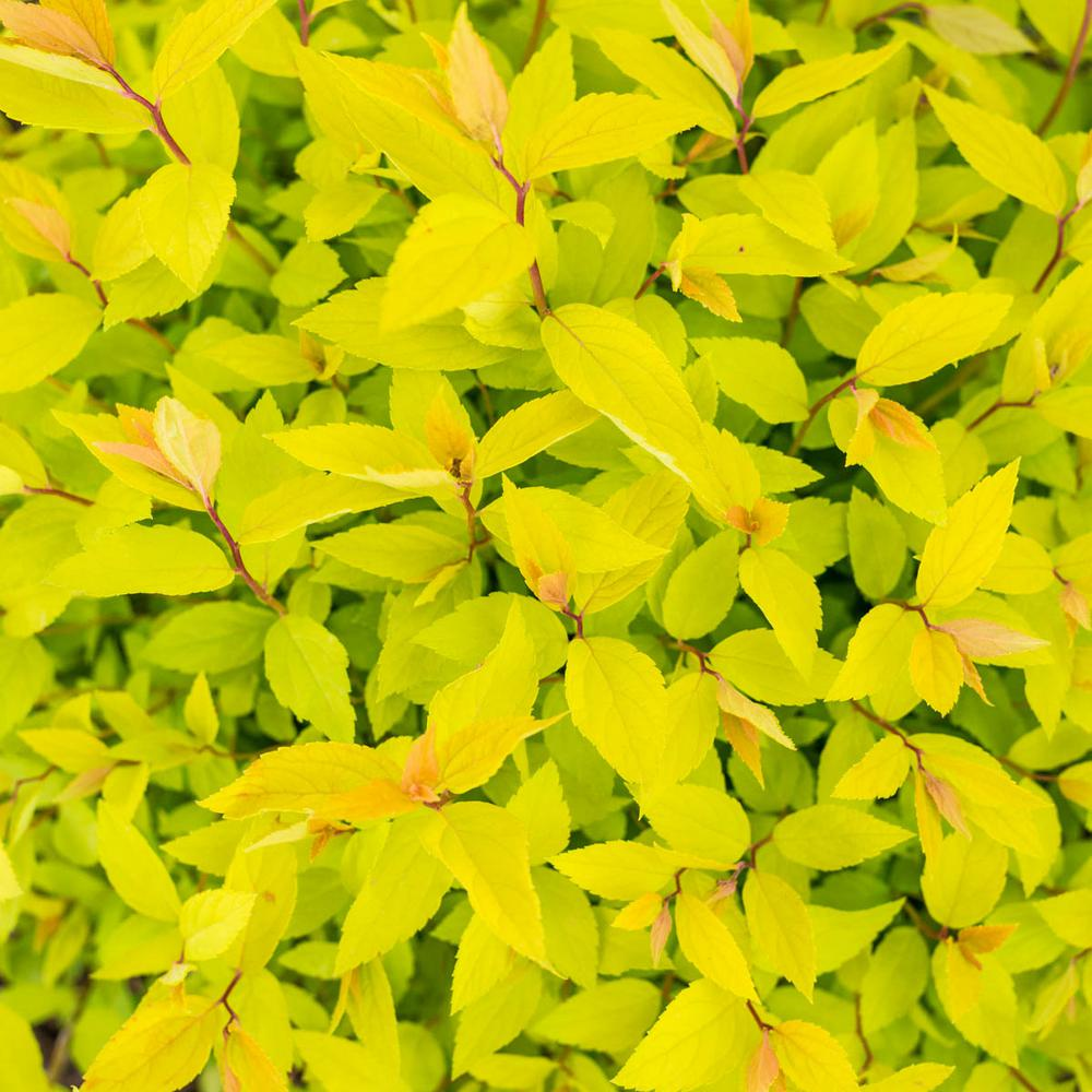 Spring Hill Nurseries 25 Qt Lemon Princess Spirea Spiraea Live
