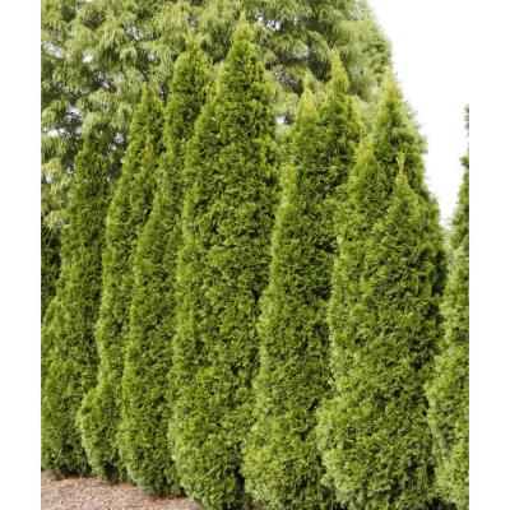 36 in. to 42 in. Tall Emerald Green Arborvitae (Thuja) Starter Hedge Kit, Live Evergreen Bareroot Plants (3-Pack)