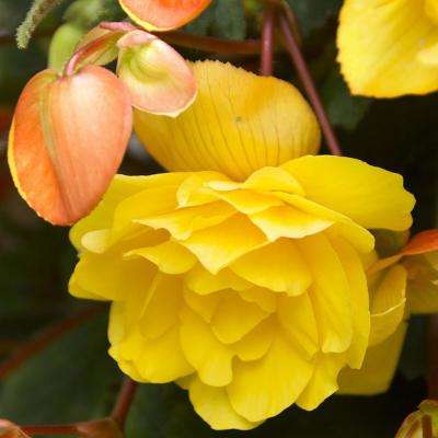 Yellow Pendula Begonia Bulbs (3-Pack)