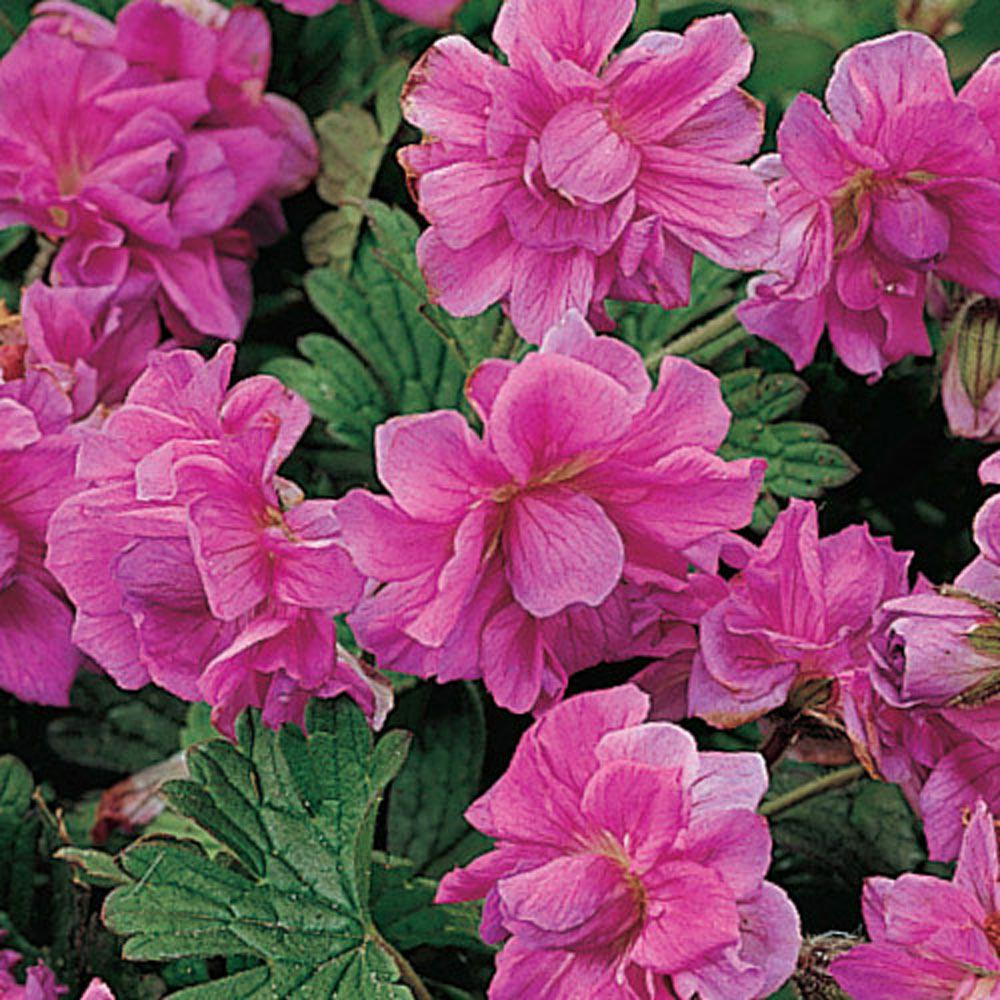 Birch S Double Everblooming Geranium Live Bareroot Plant Pink Flowering Perennial 3 Pack