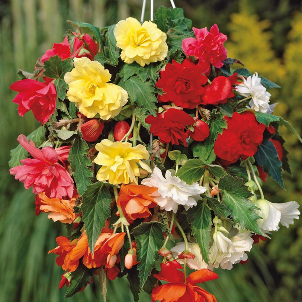 Begonia - Assorted Colors - Flower Bulbs - Garden Plants & Flowers ...