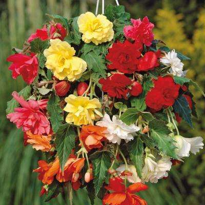 Hanging Basket Begonias Mixed Colors Bulbs (Set of 5)