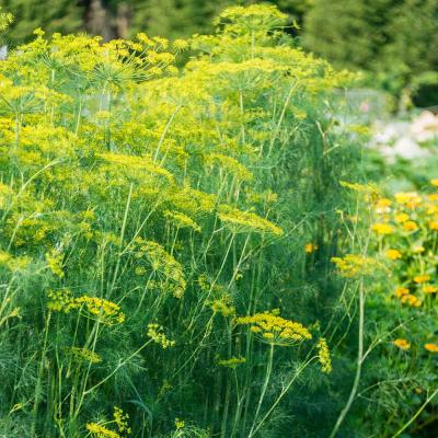 Herb Mammoth Dill (300 Seed Packet)