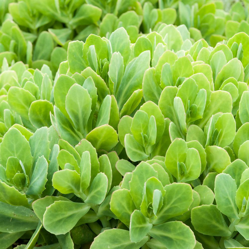 Spring Hill Nurseries 2.5 Qt. Neon Sedum, Live Perennial Plant, Pink Flowers with Green Foliage (1-Pack)