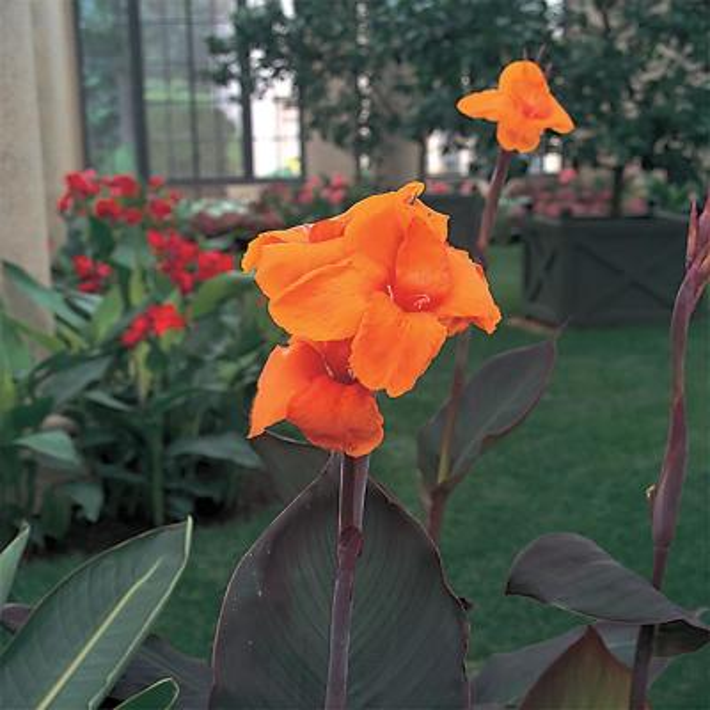 2.5 Qt. Cannova Bronze Orange Canna Lily Plant