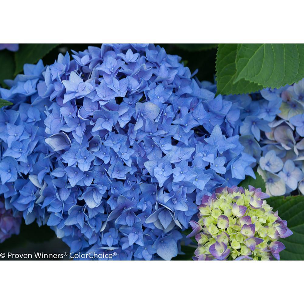 1 Gal. Let's Dance Rhythmic Blue Reblooming Hydrangea (Macrophylla) Live Shrub, Blue or Pink Flowers