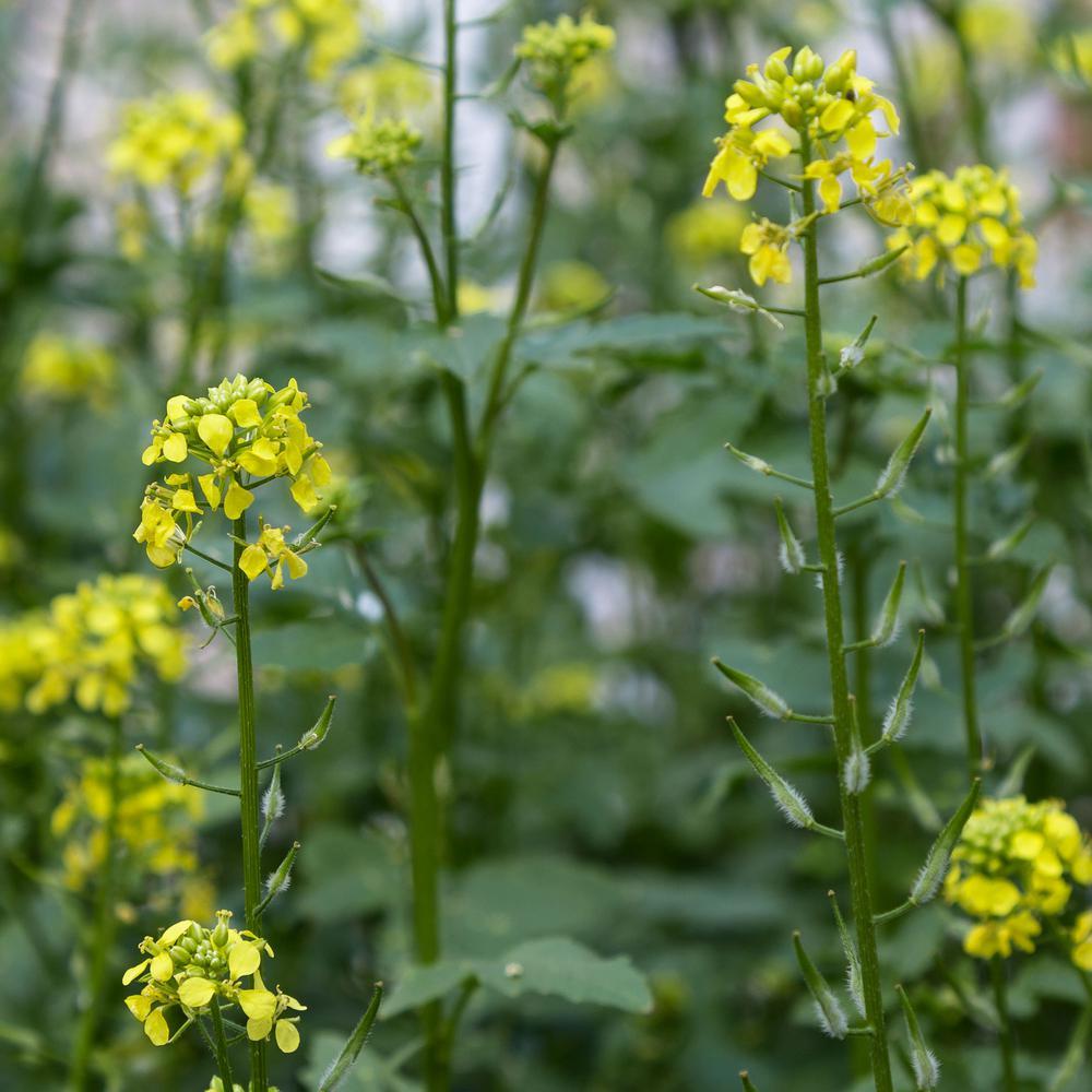 25 lbs. Certified Organic Non-GMO Herb and Microgreens Seeds Grow Micro Greens White Ice Mustard Garden Seeds