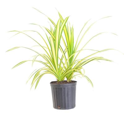 26 in. to 32 in. Tall United Nursery Gold Striped Screwpine Pandanus Live Indoor Plant Shipped in 9.25 in. Grower Pot