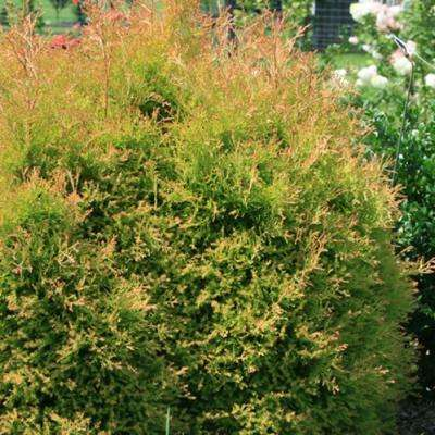 2 Gal. Fire Chief Arborvitae(Thuja) Live Dwarf Evergreen Shrub, Golden-Orange Foliage