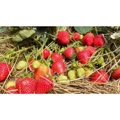 Sweet Kiss Fruit-Bearing Bare Root Strawberry Plant (25-Piece)