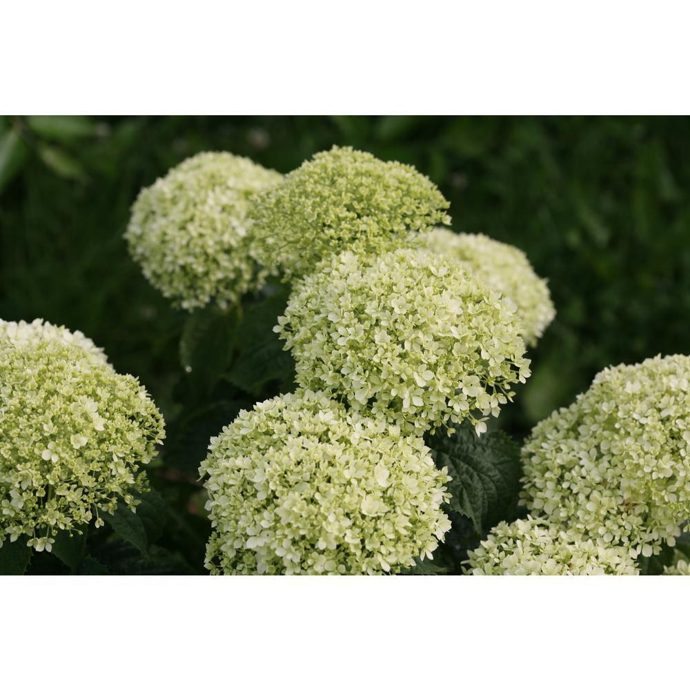 4.5 in. Qt. Invincibelle Limetta Smooth Hydrangea, Live Shrub, Green-White Flowers