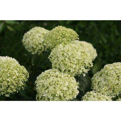 4.5 in. Qt. Invincibelle Limetta Smooth Hydrangea, Live Shrub, Green-White Flowers
