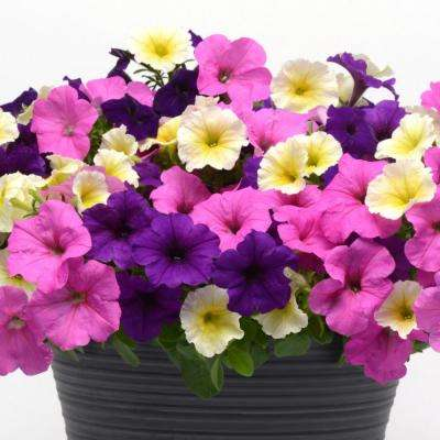 Assorted Colors - Annuals - Garden Plants & Flowers - The Home Depot