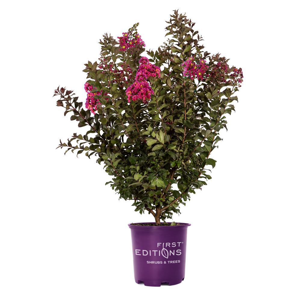 3 Gal. Plum Magic Crape Myrtle Tree with Fuchsia-Pink Flowers