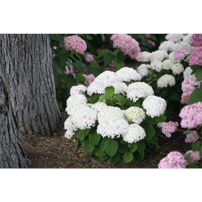 Invincibelle Wee White Smooth Hydrangea Live Shrub White Flowers 4.5 in. Qt.