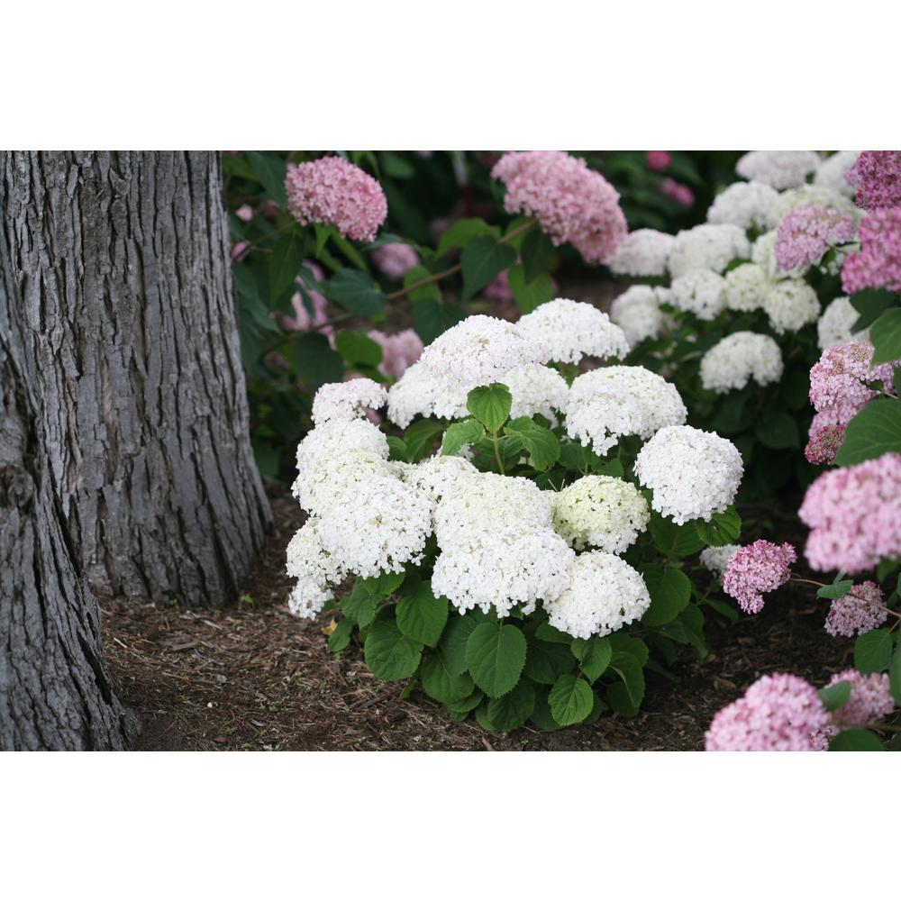 Invincibelle Wee White Smooth Hydrangea Live Shrub White Flowers 4.5 in.