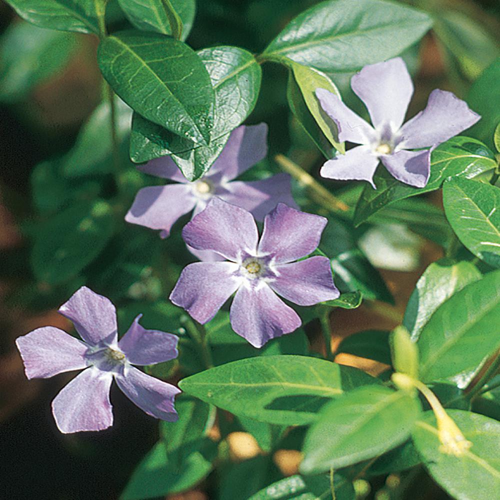 #4 1-Pint Minor Periwinkle Myrtle Plant