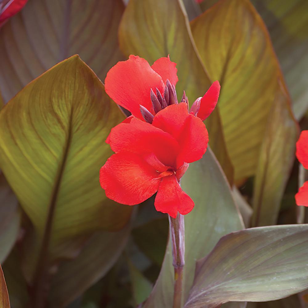 2.5 Qt. Cannova Bronze Scarlet Canna Lily Plant
