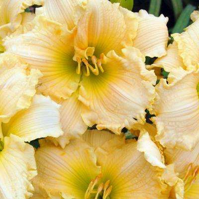 2.5 Qt. Joy of Living Family Reunion Daylily