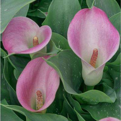 Pink and White Flowers Captain Marrero Calla Lily Bulbs (5-Pack)