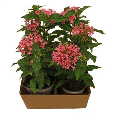 1 Qt. Bright Red Penta Plant in Grower Pot (12-Pack)