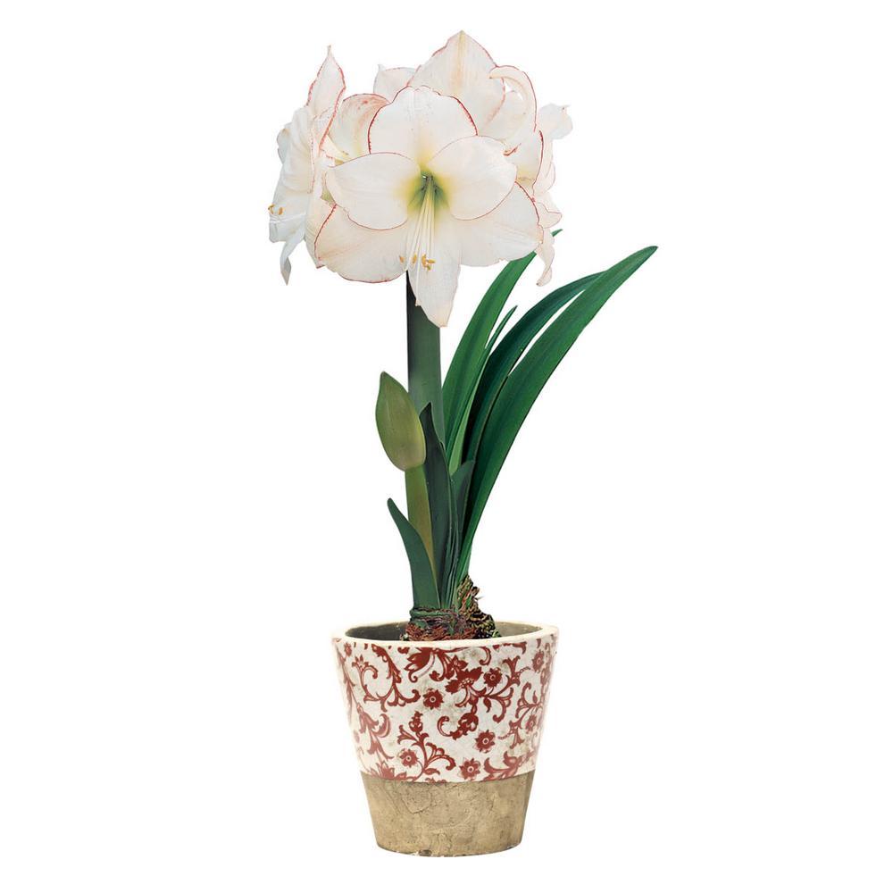 Picotee Diamond Amaryllis (Hippeastrum) Bulbs (3-Pack)