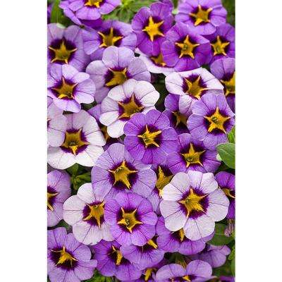 Superbells Evening Star (Calibrachoa) Live Plant, Light Purple Flowers with a Yellow Star, 4.25 in. Grande, 4-pack