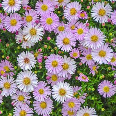 2 in. Pot Pink Chiffon Kickin Aster Live Deciduous Plant Pink Colored Perennial (1-Pack)