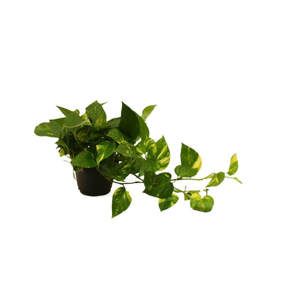 Delray Plants Golden Pothos 6 in. Pot
