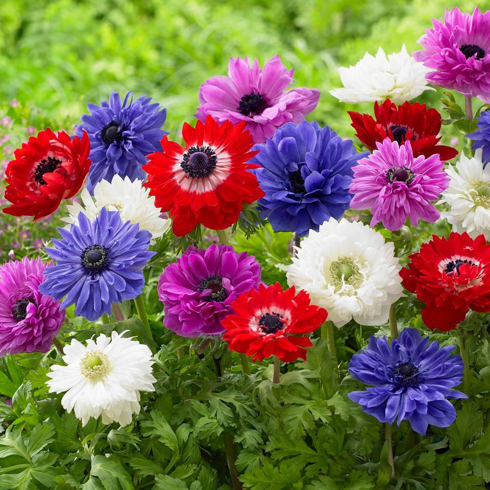 Wind Flowers Bulbs Anemones St. Brigid Mixed (Set of 25)