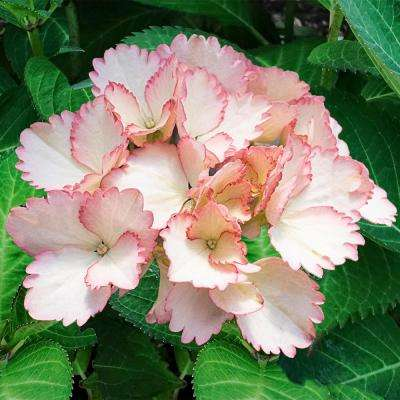 Forever and Ever Vintage Blush Hydrangea (4 in. Potted Plant)