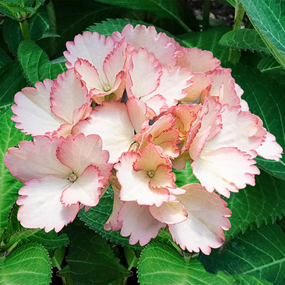4 In. Pot Forever & Ever Vintage Blush Hydrangea, Live Deciduous Plant, Pink Flower (1-Pack)