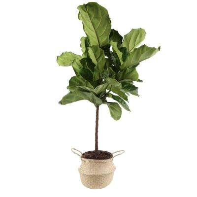 Ficus Lyrata Fiddle-Leaf Fig Standard Tree Floor Plant in 9.25 in. Grower Pot in Seagrass Natural Basket