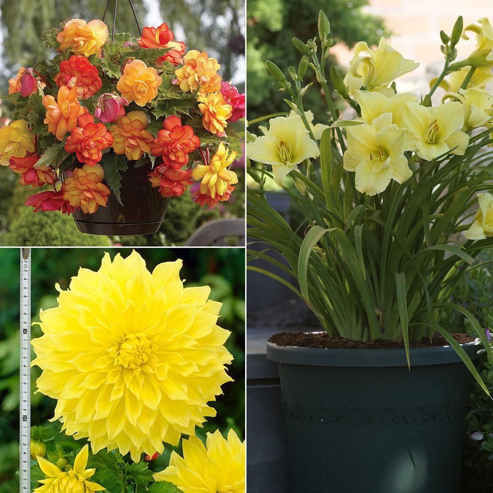 Color Your Garden Yellow  Collection  Bulbs (13-Set)