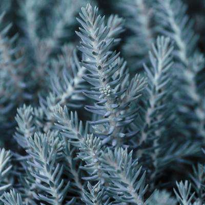 3 in. Pot Blue Spruce Sedum, Live Potted Plant, Blue Colored Groundcover Perennial (1-Pack)