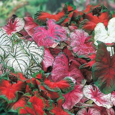 Caladium Mixed Bulbs (25-Pack)
