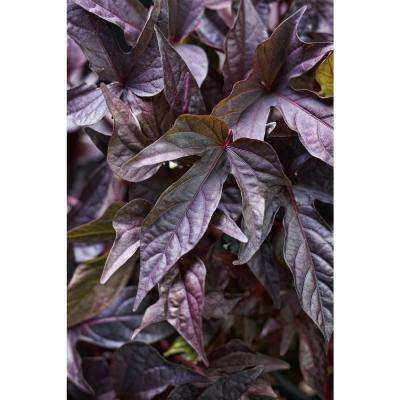 Sweet Caroline Raven Sweet Potato Vine (Ipomoea) Live Plant, Purple-Black Foliage, 4.25 in. Grande, 4-pack