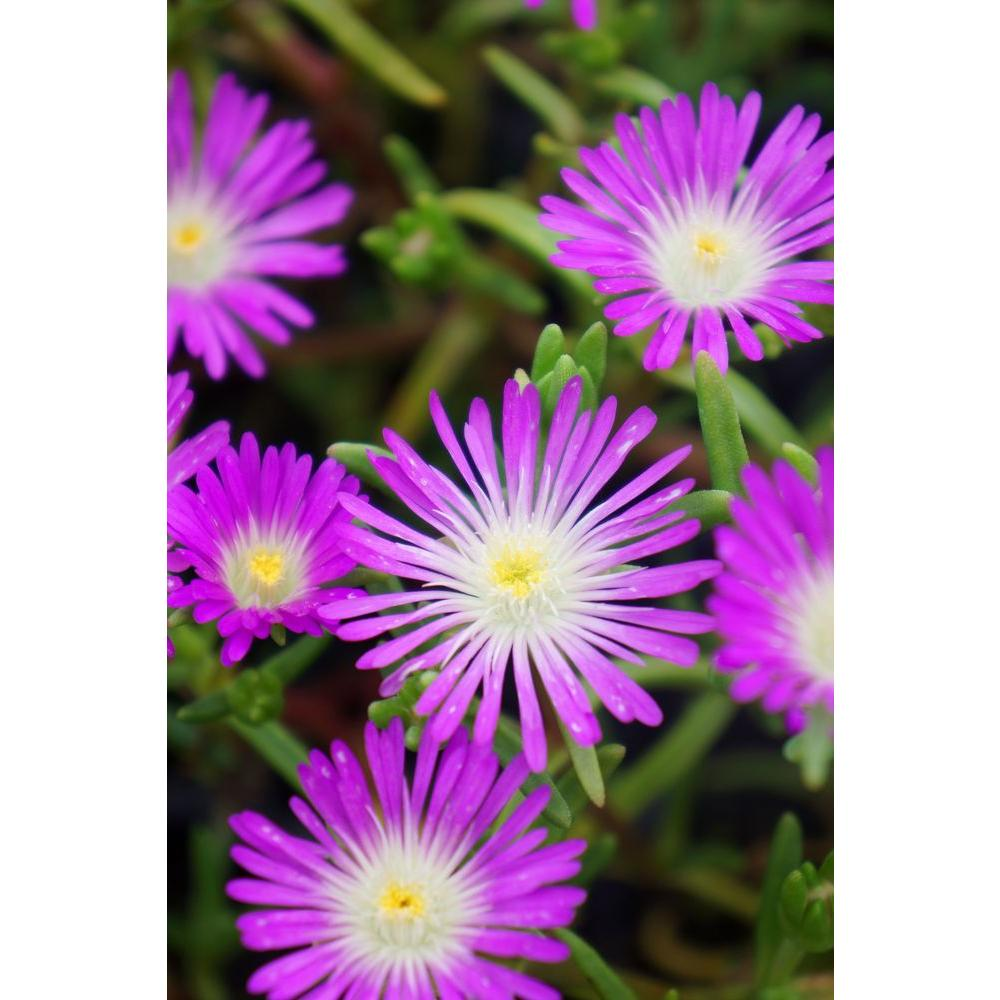 Proven winners button up violet trailing iceplant delosperma live proven winners button up violet trailing iceplant delosperma live plant purple flowers mightylinksfo