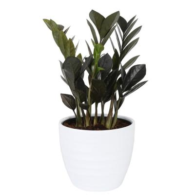 Trending Tropicals Raven ZZ Plant in 6 in. Ceramic Pot