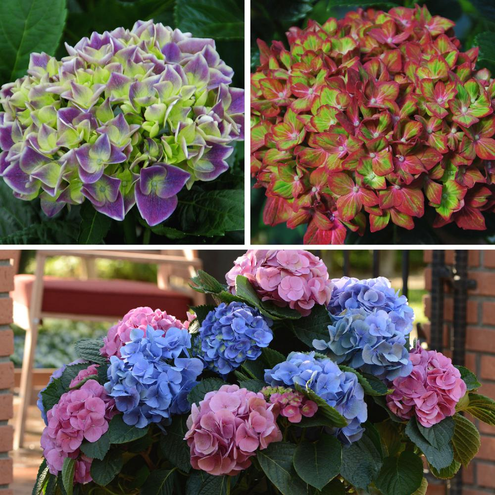 National Plant Network 4 In Collectors Edition Hydrangea Shrub