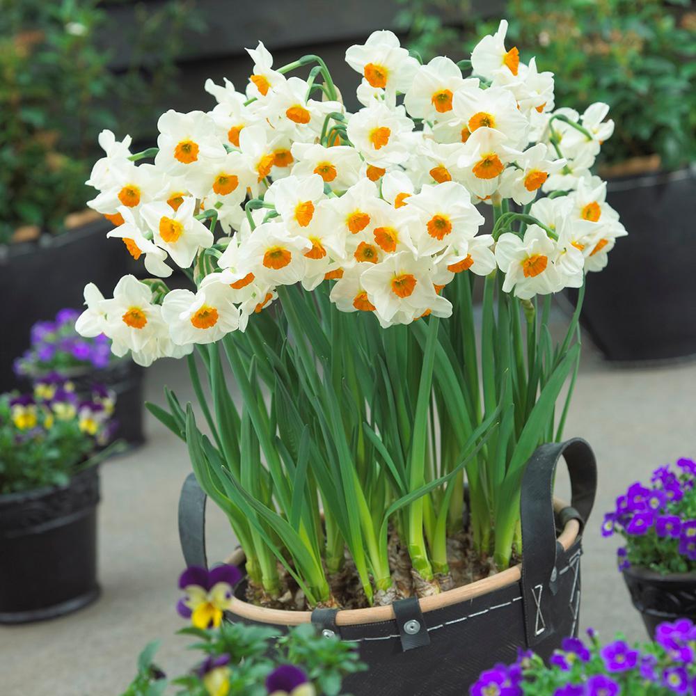 Daffodils Bulbs Geranium (Set of 12)