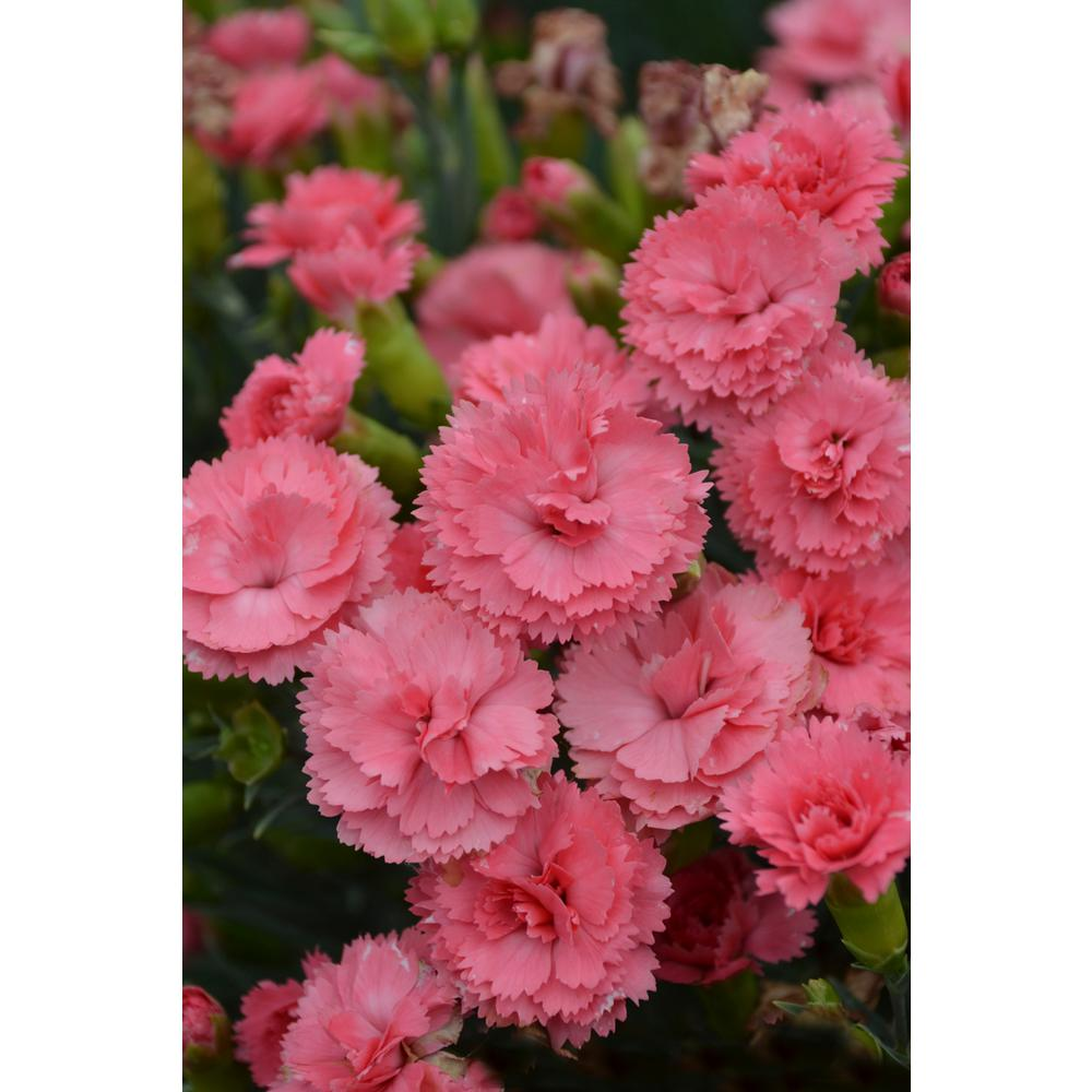 Proven winners fruit punch classic coral pinks dianthus live plant proven winners fruit punch classic coral pinks dianthus live plant coral pink flowers 065 mightylinksfo