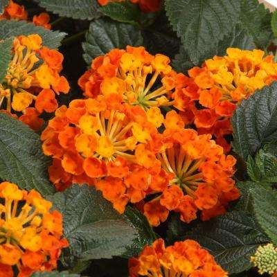 Luscious Marmalade (Lantana) Live Plant, Orange Flowers, 4.25 in. Grande, 4-pack